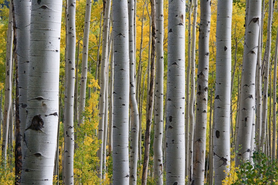 Aspen Tress Fall Autumn