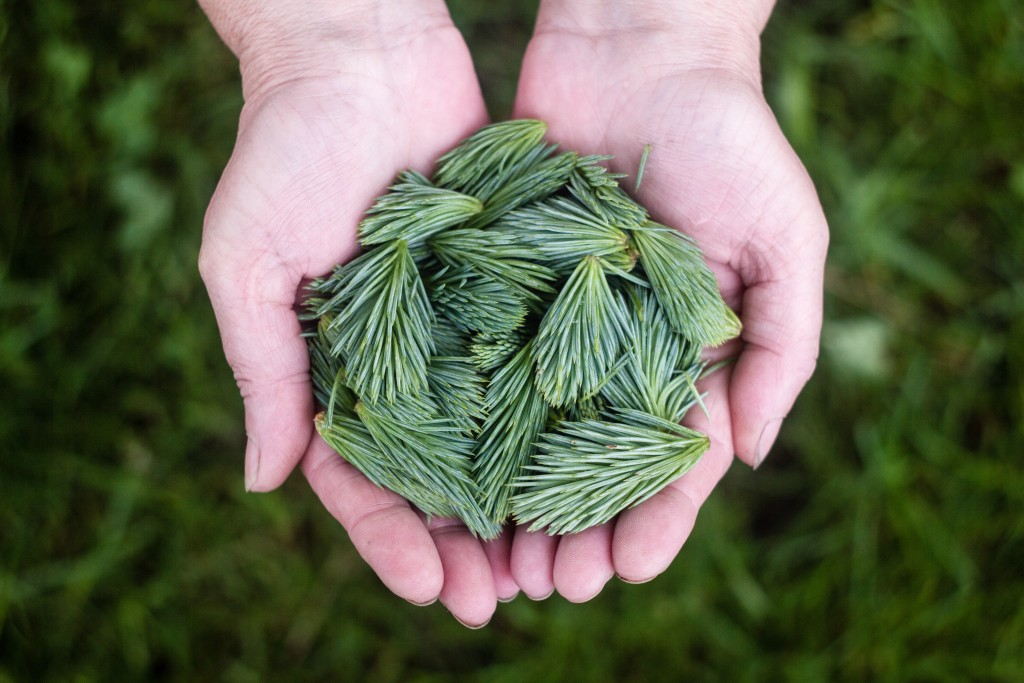 Pine Needles in cupped hands